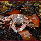 crustacean in seaweed. by S Fisher