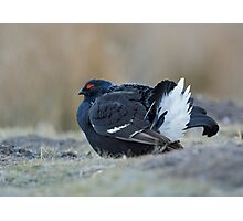 Black Grouse in winter Photographic Print