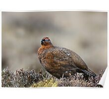 Male red grouse Poster