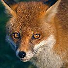 Winter Fox by Krys Bailey
