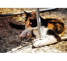 Tortoise Shell Kitten  Photographic Print