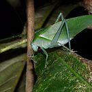 Common Garden Katydid, Caedicia simplex by peterstreet