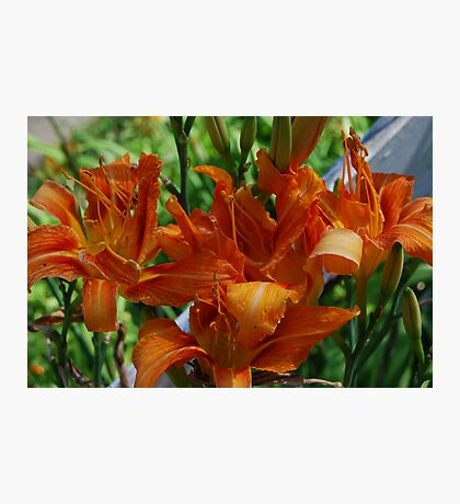 Wild Lilies Photographic Print