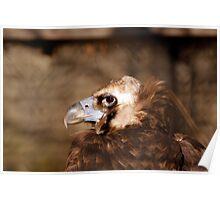 Cinereous/Eurasian Black Vulture Poster