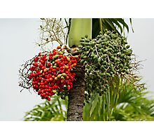 Fruits of The Palm Tree Photographic Print