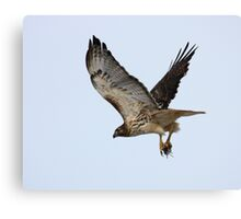 Red Tailed Hawk with a mouse. Canvas Print