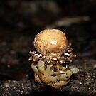 Mossman Gorge Mushroom by Richard Cassar
