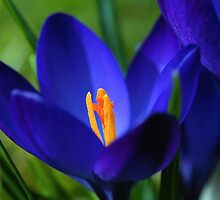 Crocus flower by franceslewis