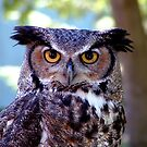 Great Horned Owl by Johnny Furlotte