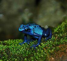 Poison Dart Frog by Lindsay Dean