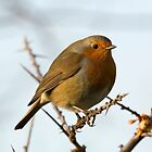 Eurasian robin by Ashley Crombet-Beolens