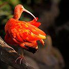 Scarlet Ibis or Eudocimus Ruber by BigD