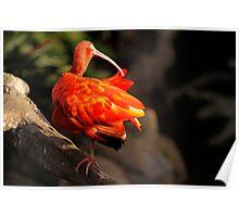 Scarlet Ibis or Eudocimus Ruber Poster
