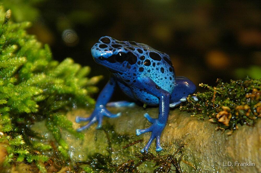 Blue Poison Dart Frog by Lindsay Dean