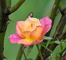 A Summertime Souvenir After the Rain by photroen