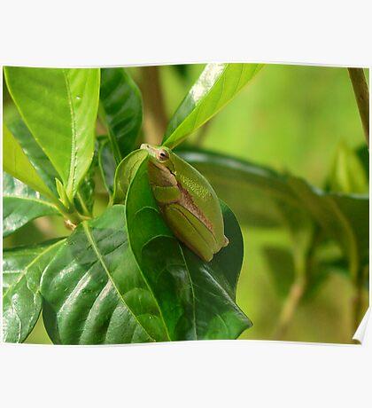 Froggie on a leaf HDR Poster