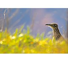 Roadrunner,  Out For Lunch Photographic Print
