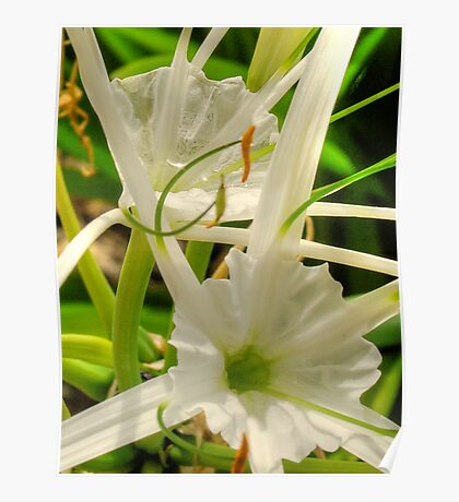 Spider Lillies - HDR Poster