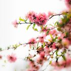 Pink Spring Blossoms by KellyHeaton