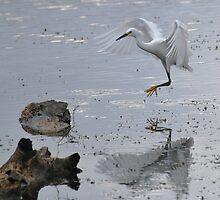 snowy egret, feathers, water, bird, white bird, reflection by Janie Mason