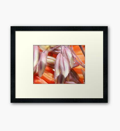 closeup of grass heads and red hot poker flowers Framed Print