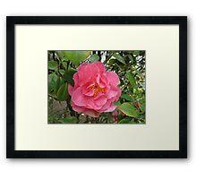Precious Pink Summertime Camellia Framed Print
