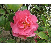 Precious Pink Summertime Camellia Photographic Print
