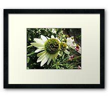 End of Summer Echinacea Sunrise Framed Print
