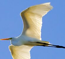 Herron in flight by gatorjack