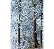 white trees in winter Photographic Print