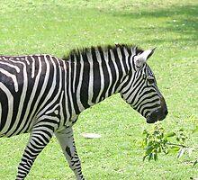 Zebra by Karl R. Martin