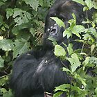 Hide And Seek ~ Gorilla Style by Steve Bulford