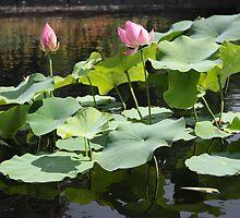 Water Lily Zen  by beltanemaiden