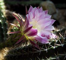 Cactus Flower by Jon Burch
