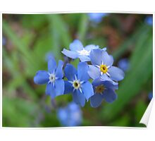 Spring flowering Myosotis Sylvatica  (Forget-Me-Not) Poster