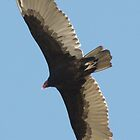 SOAR!  Beauty! Predatory birds along coastal shores of CA; Just S.Morro Bay USA (2025 Views 4/16/2013) by leih2008