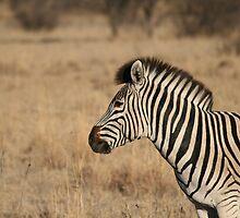 Zebra by Christie Harvey