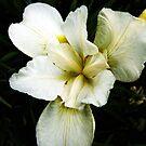Pale yellow Iris  by Karen  Betts