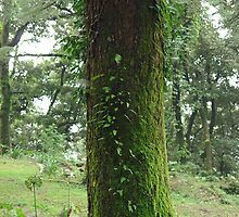 A moss covered beautiful tree in McLeodganj by ashishagarwal74