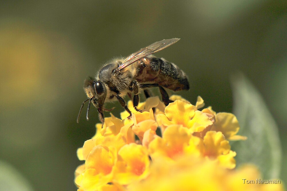 Bee on Buddleja by Tom Newman