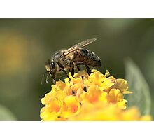 Bee on Buddleja Photographic Print