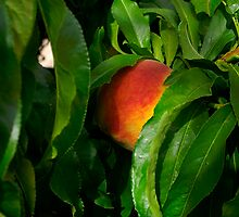 Almost ripe by Steve9