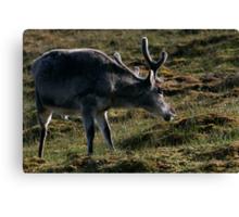 Reindeer Scratching Canvas Print