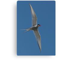Arctic Tern Turn Canvas Print
