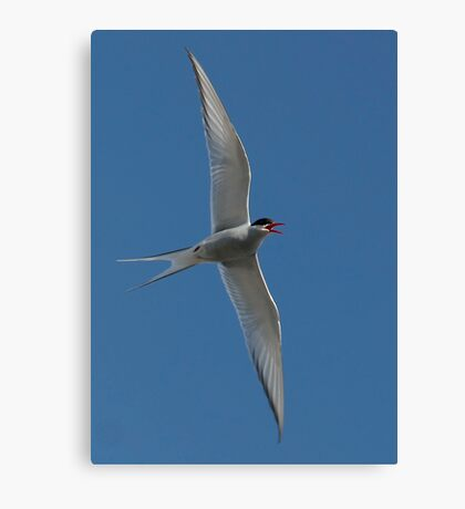 Arctic Tern Turn Canvas Print