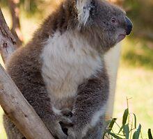Koala by Igor Janicijevic