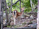 South end of North bound Fallow Doe by Johnny Furlotte