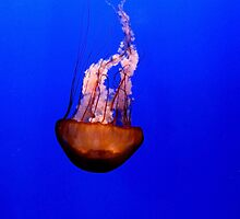 Jelly Fish by adng