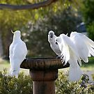 Cockatoo's Landing in White by Larry Lingard-Davis