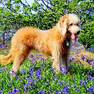 Lola - Ruby's sister a Labra~poddle.... by Larry Llewellyn